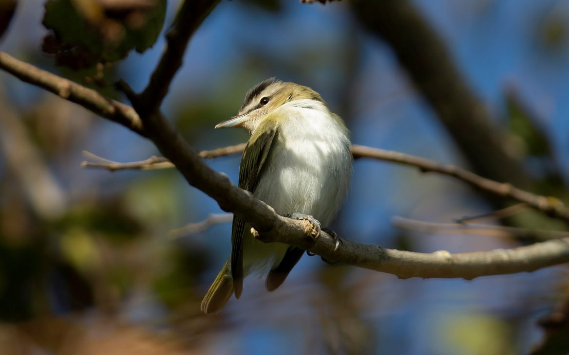 Red-eyed Vireo (c) Joe Pender